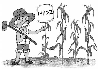 绘图:吴狄 去年玉米收获的时候,山东省高唐县南镇村农民唐书旺很是高兴,相比于其他村民的玉米由于前期高温干旱后期阴雨寡照导致果穗发育异常进而造成减产的不利局面,他种植的玉米依旧获得了丰收。没想到玉米品种还大有学问,两个品种种在一起,效果真是不一样。唐书旺说。