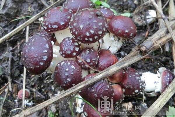 农民致富新路子 4亩大球盖菇全年收入达16万