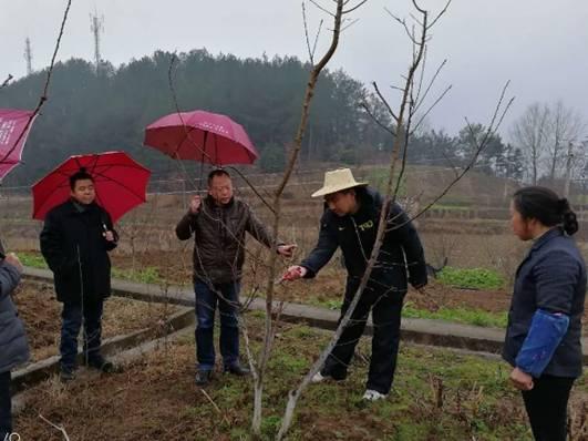 整形修剪,并向果農耐心地講解了冬季清園,肥水管理等等當前李子園管理